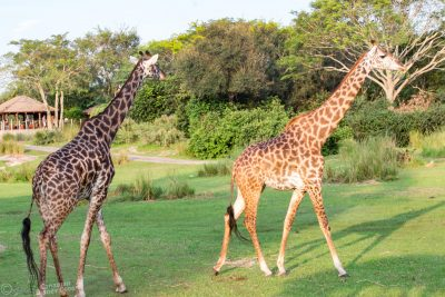 Giraffes at Kilimanjaro Safaris in Disney's Animal Kingdom