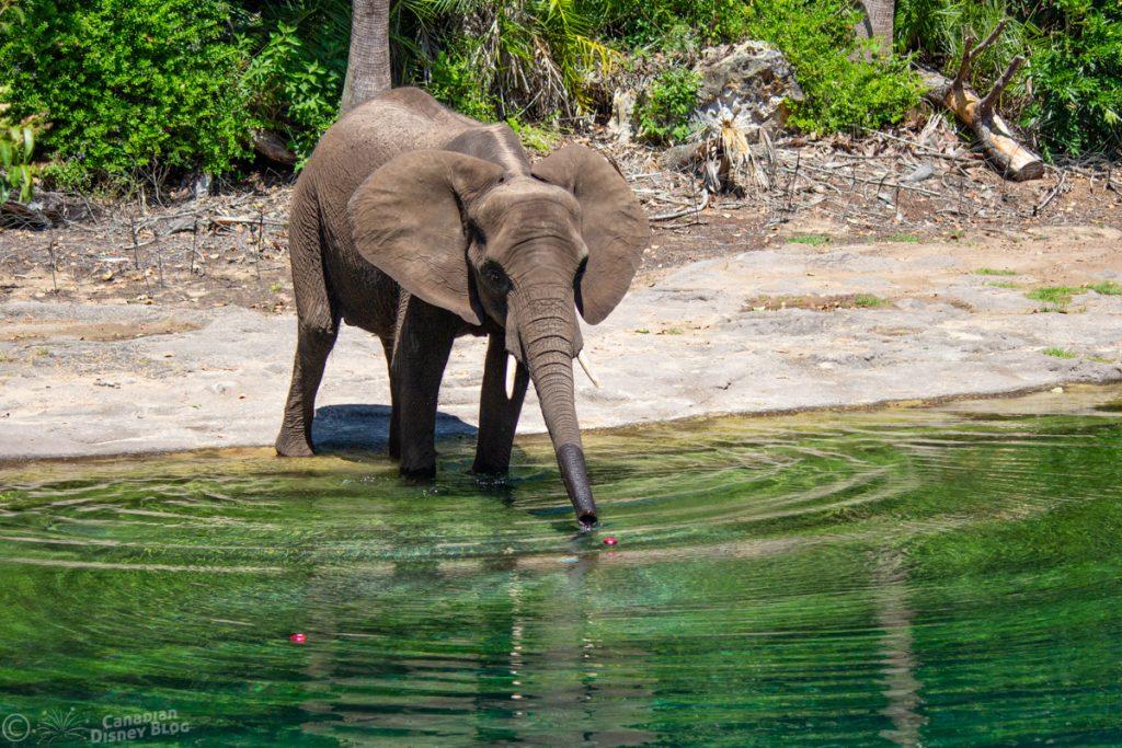 Elephant at Kilimanjaro Safaris in Disney's Animal Kingdom
